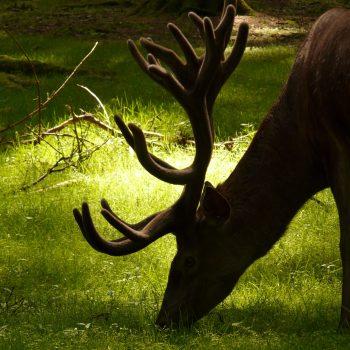 animal-animal-photography-antlers-57439